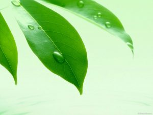 Leaves With Water Drops Powerpoint Background